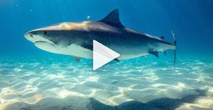 requin nageant dans un eau claire